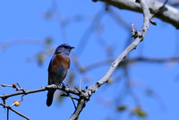 Western Bluebird    or Sialia mexicana