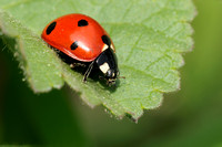 January Seven-spotted LadyBug   or   Coccinellidae  C. septempuctata
