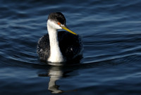 Western Grebe  or Aechmophorus occidentalis