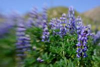 Lupines in Bloom through the Lensbaby - version II