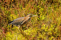Green Heron   or Butorides virescens