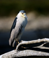 Black-crowned Night-Heron    or Nycticorax nycticorax  VI