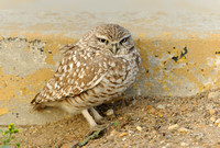 Burrowing Owl      or Athene cunicularia