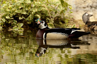 Male Wood Duck    or Aix sponsa   VII