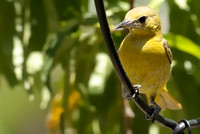 Hooded Oriole     or Icterus cucullatus  V