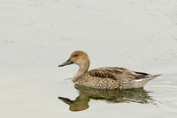 Northern Pintail     Female    or Anas acuta