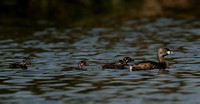 Pied-billed Grebe family   III    or Podilymbus podiceps
