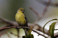 Female Lesser Goldfinch     or Carduelis psaltria