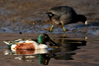 Northern Shoveler male flanked by American Coot