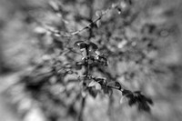 Leaves of a Weeping Willow in B&W