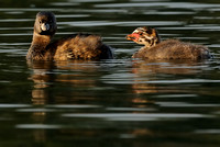 Pied-billed Grebe Mother (?) & Chick   III    or Podilymbus podiceps