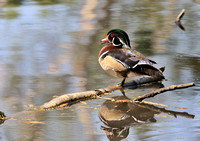 Male Wood Duck    or Aix sponsa