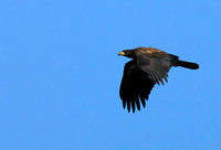 Juvenile Bald Eagle in Flight    or Haliaeetus leucocephalus
