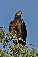 Juvenile Bald Eagle     or Haliaeetus leucocephalus