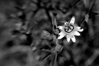 Passion Flower Horizontal in B&W