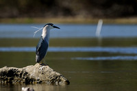 Black-crowned Night-Heron    or Nycticorax nycticorax   V