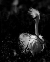 Snowy Egret Displaying III B&W conversion   or Egretta thula