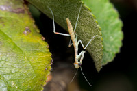 Preying Mantis Hatchlings