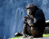 "Chimpanzee ""In My Own World....."""
