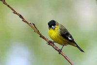 40% crop Adult male Lesser Goldfinch     or Carduelis psaltria