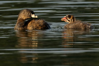 Pied-billed Grebe Mother (?) & Chick  II   or Podilymbus podiceps