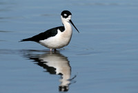 Black-necked Stilt    or Himantopus mexicanus