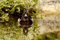 Male Wood Duck    or Aix sponsa     XIII
