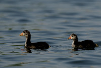 """The Old Men"" American Coot or Fulica americana Chicks"
