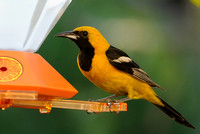 Hooded Oriole     or Icterus cucullatus   XIV