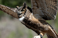 """Gymnast in Action""     Great Horned Owl     VII"