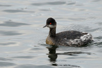 Eared Grebe     or   Podiceps nigricollis