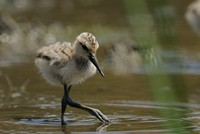 Avocet chick looking for lunch