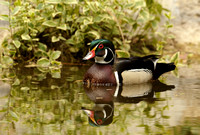 Male Wood Duck    or Aix sponsa     X
