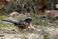 Spotted Towhee    or Pipilo maculatus