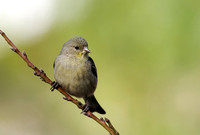Juvenile female Lesser Goldfinch     or Carduelis psaltria