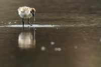 American Avocet chick   or  Recurvirostra americana
