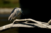 Black-crowned Night-Heron    or Nycticorax nycticorax  X