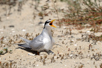 Least Tern on the Nest Calling to Mate