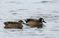 Blue-winged Teal   or  Anas discors