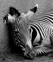 "Grevy's Zebra ""Just Out of It"" II   B&W"