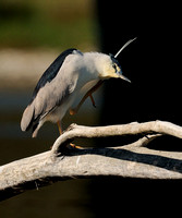 Black-crowned Night-Heron    or Nycticorax nycticorax  IX