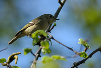 Ruby-crowned Kinglet    or Regulus calendula