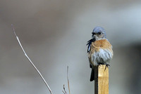 Western Bluebird female   or Sialia mexicana