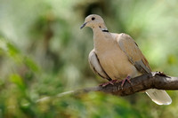 Ringed Turtle-Dove  III  or Streptopelia risoria