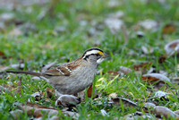 White-throated Sparrow    or Zonotrichia albicollis