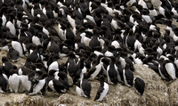 Common Murre     or   Uria aalge      V
