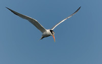 TIFs or Terns In Flight # 15