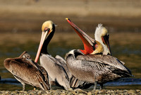Pelican Neck Calisthenics or .......    Brown Pelican Male   or Pelecanus occidentalis