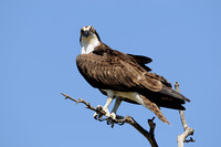 What are you doing.....  Osprey    or Pandion haliaetus