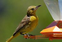 Hooded Oriole     or Icterus cucullatus      XIII